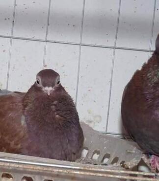 【小金鱼观赏鸽,黄色小金鱼鸽,金鱼鸽养殖场_小金鱼观赏鸽价格|图图片